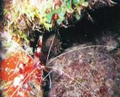 Banded Coral Shrimp. Photo: Barbara Krooss